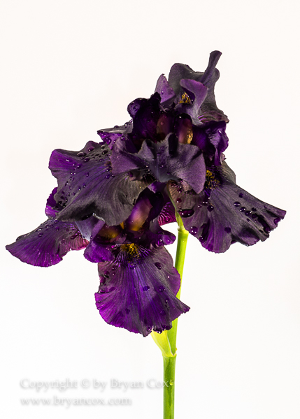 Image of Bearded Iris
