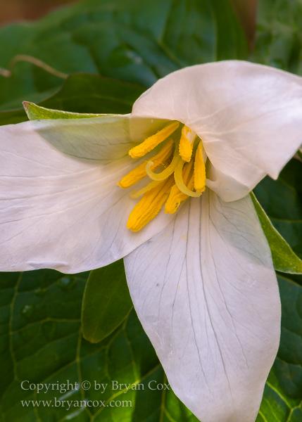 Image of Western Trillium (Trillium ovatum)