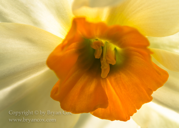 Image of Daffodil