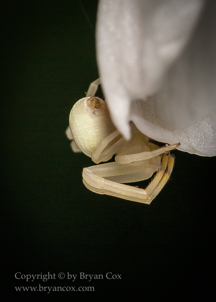 Image of Goldenrod Crab Spider
