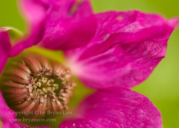 Image of Salmonberry (Rubus spectabilis)