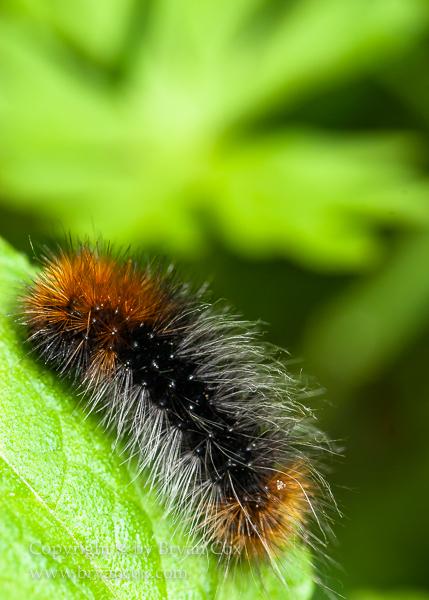 Image of Wooly Worm (Isabella tiger moth, Pyrrharctia isabella)