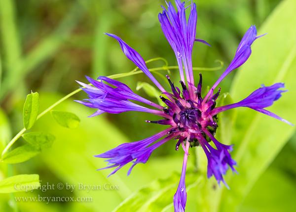 Image of Squarrose Knapweed (Centaurea triumfettii)