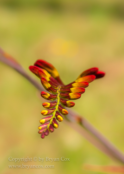 Image of Crocosmia