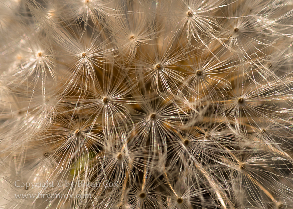Image of Common Dandelion Seeds