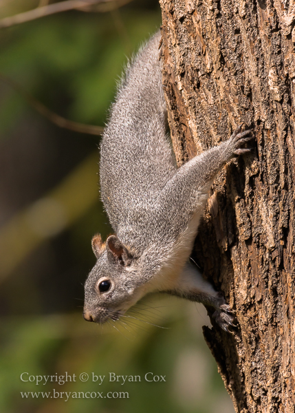 Image of Western Gray Squirrel