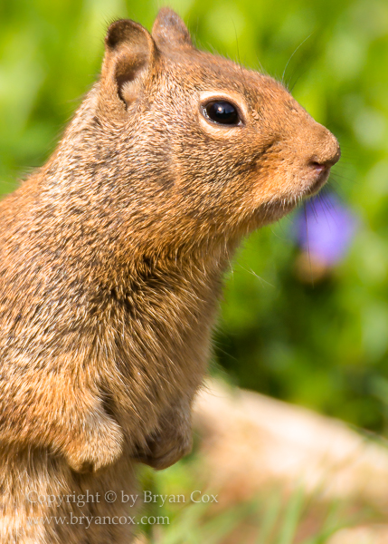 Image of California Ground Squirrel