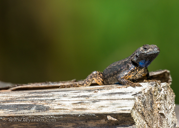 Image of Western Fence Lizard