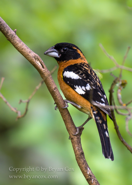 Image of Grosbeaks & Tanagers