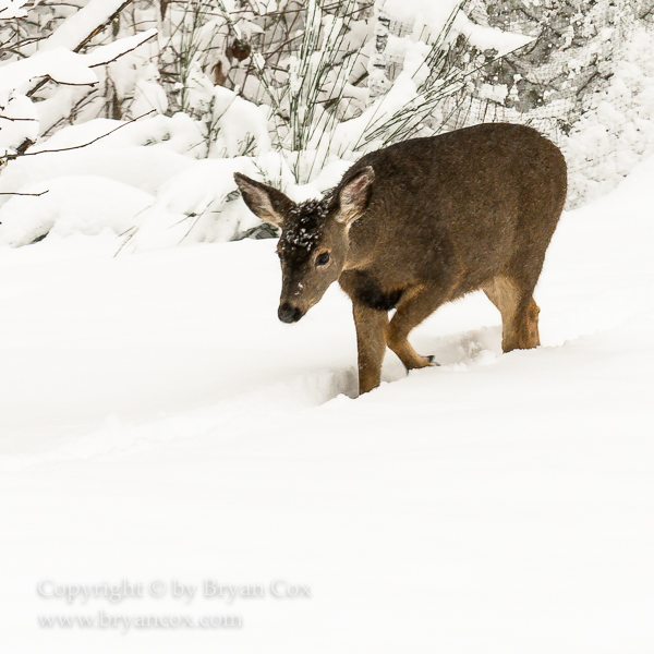 Image of Black-tailed Deer