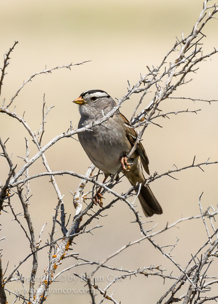 Image of New World Sparrows & Larks