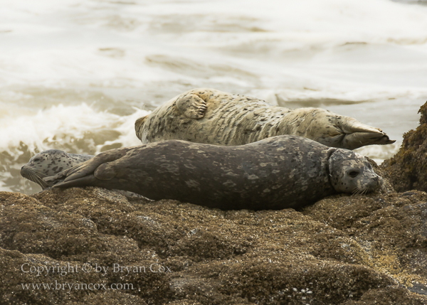Image of Harbor Seals