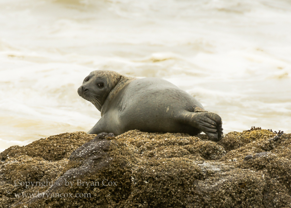 Image of Harbor Seal