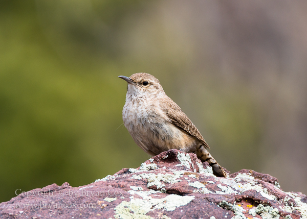 Image of Wrens