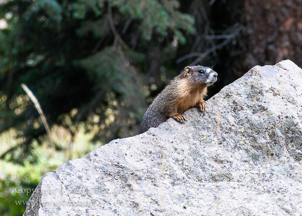 Image of Yellow-bellied Marmot (Marmota flaviventris)
