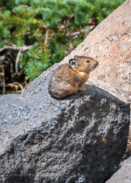 Image of Pika