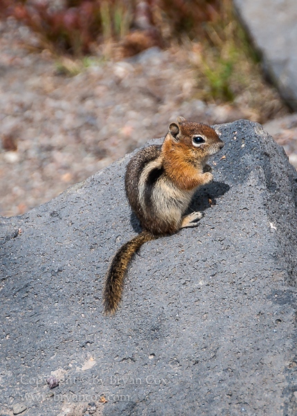 Image of Golden-mantled Ground Squirrel