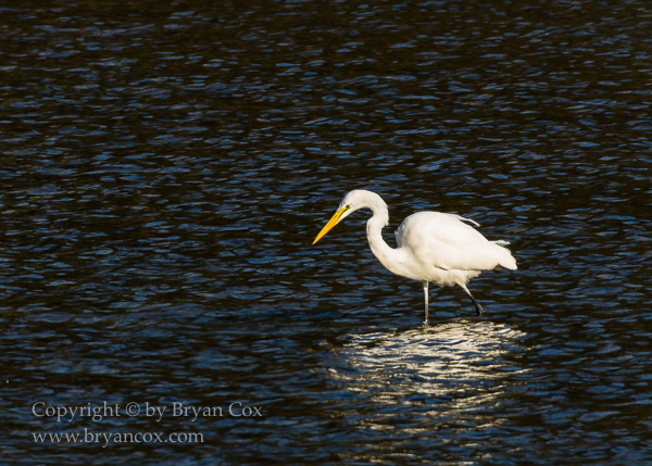 Image of Great Egret