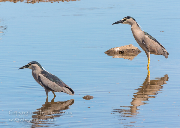 Image of Black-crowned Night Heron