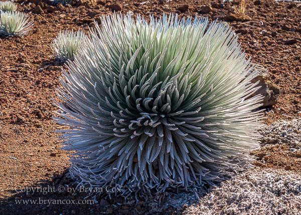 Image of Haleakalā silversword