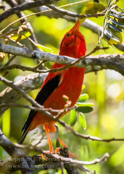 Image of Honeycreepers